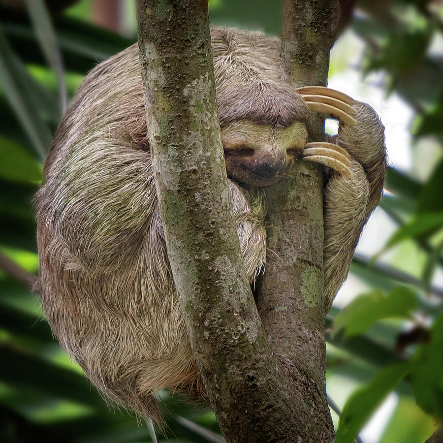 Sleeping Sloth by Darylann Leonard Photography