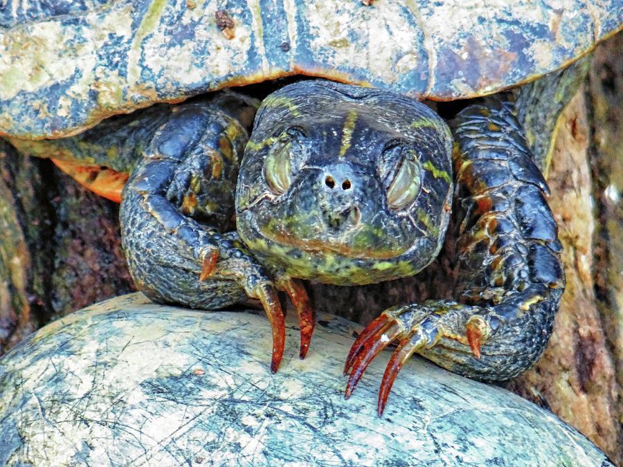 Sleeping Turtle by Sarah Hanley