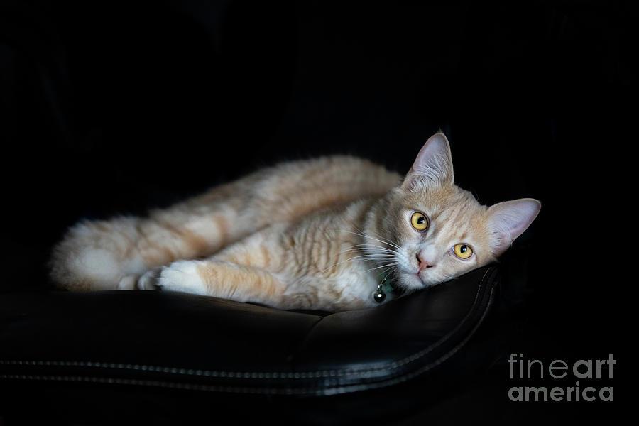 Sleepy Champagne Ginger Tabby Kitten on black  by Michelle Wrighton