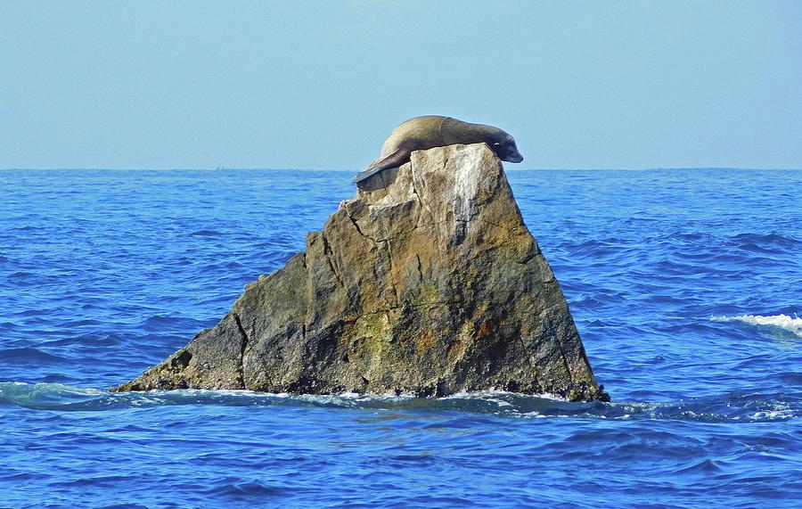 Sleepy Sea Lion On The Rocks In Cabo San Lucas Photograph