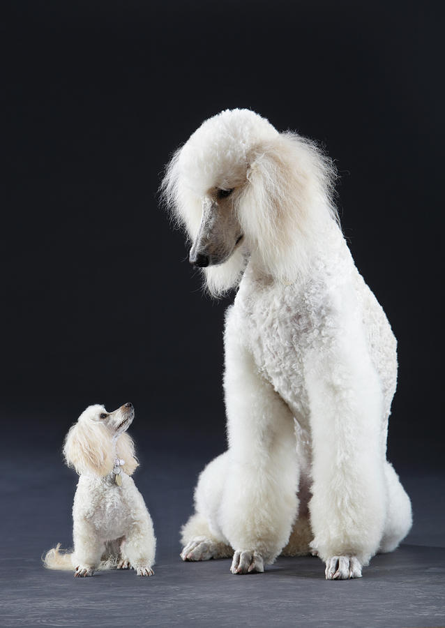 Small And Large Poodle Photograph by Peter Cade