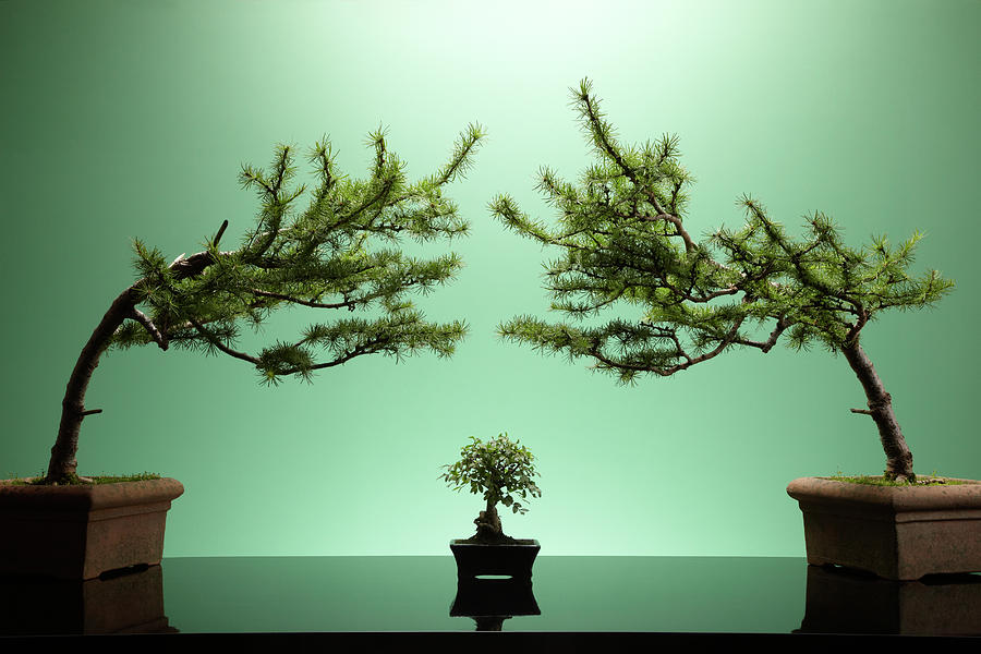 Small Bonsai Tree Between Two Large Photograph by Richard Drury