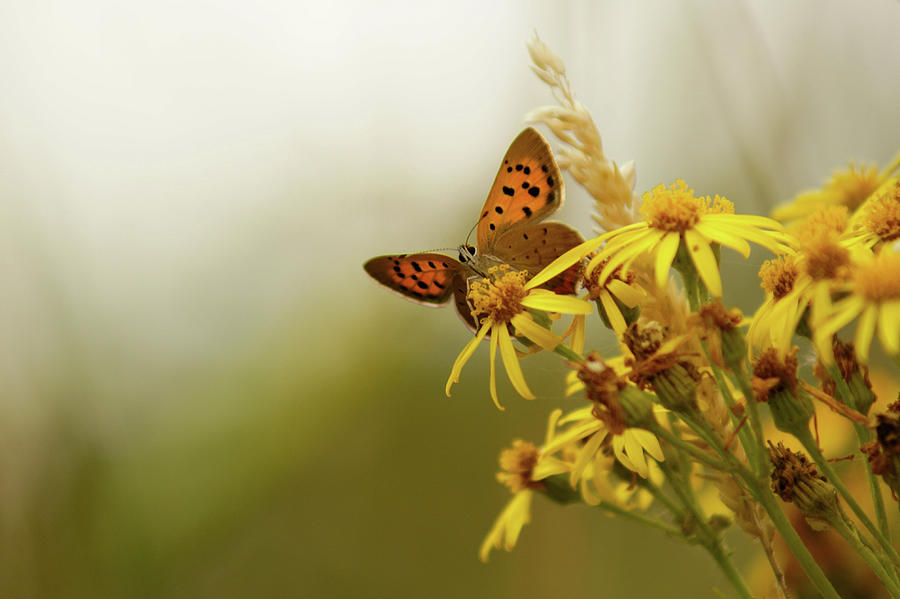 Small Copper On Ragwort Photograph by Ginny Battson