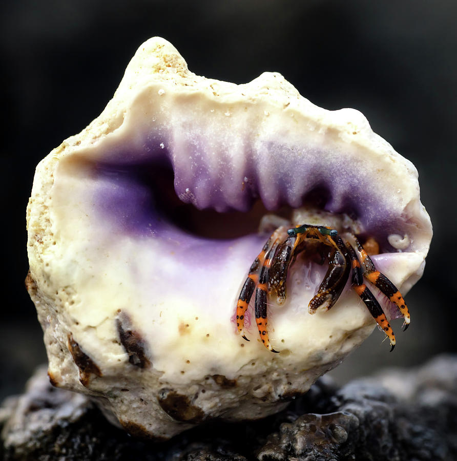 Small Hermit Crab by Christopher Johnson