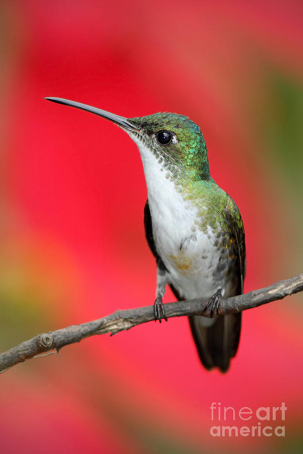 Small Photograph - Small Himmngbird Andean Emerald Sitting by Ondrej Prosicky