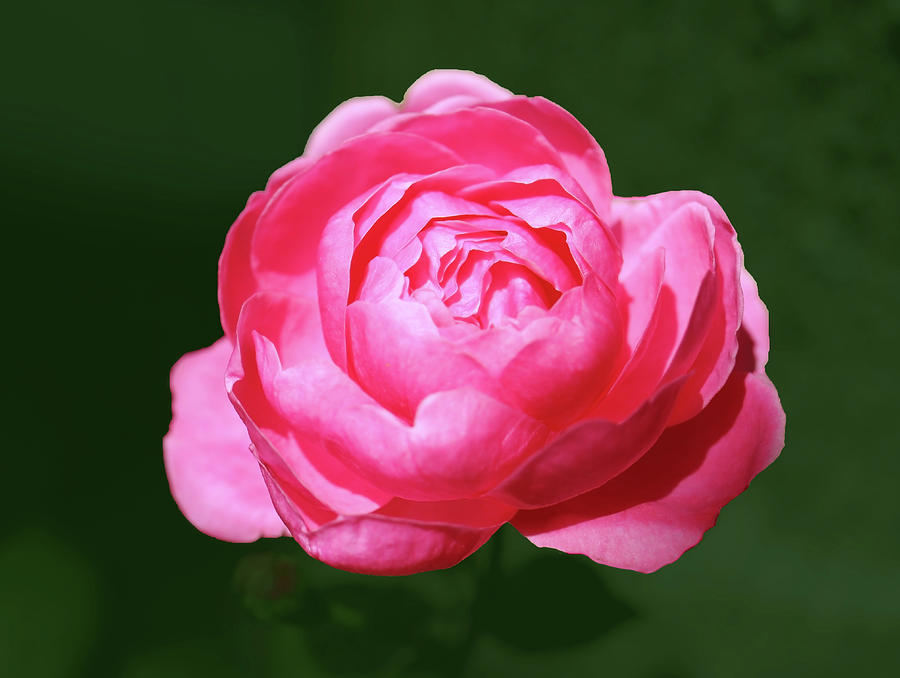 Small Pink Red Rose In The Garden by Johanna Hurmerinta