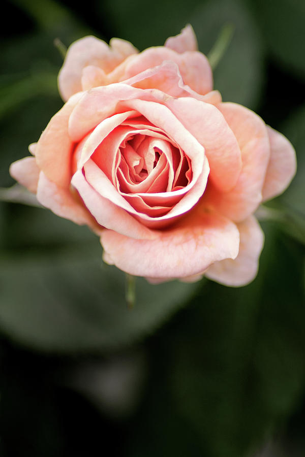 Small Pink Rose by Don Johnson