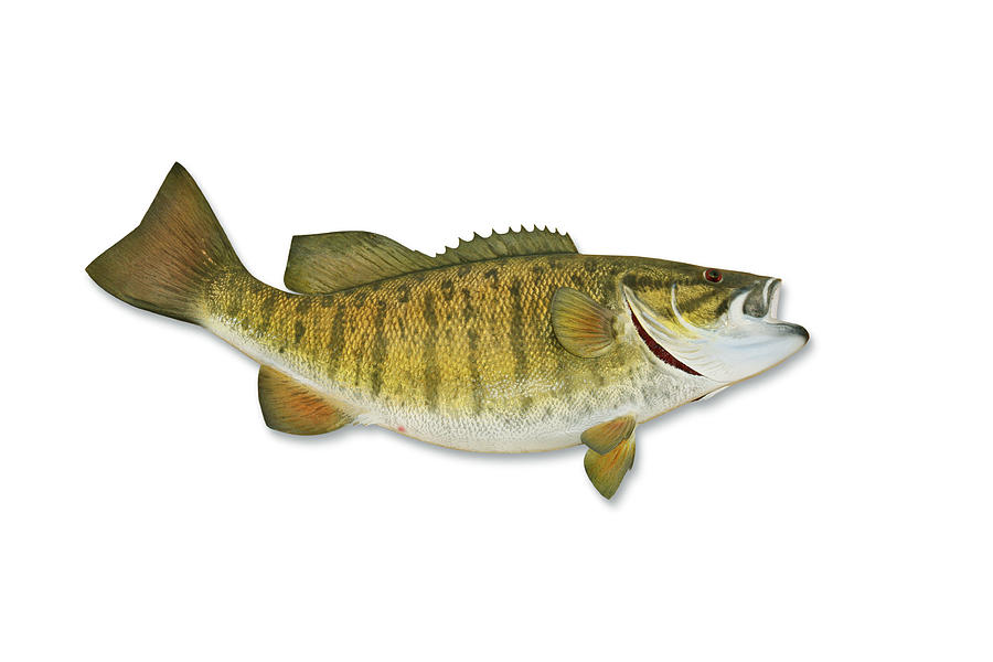 Smallmouth Bass With Clipping Path Photograph by Georgepeters