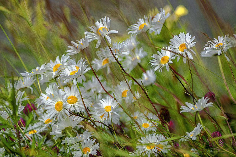 Smiling Daisies by Marty Saccone