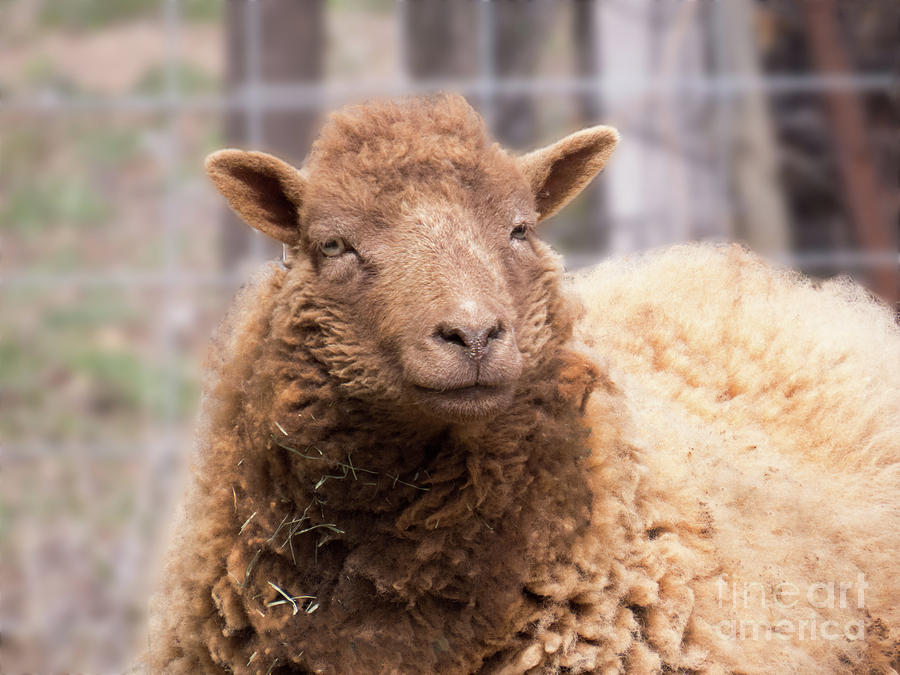 Smiling Sheep Face by Christy Garavetto