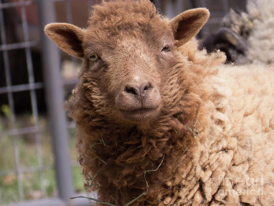 Smirking Sheep  by Christy Garavetto
