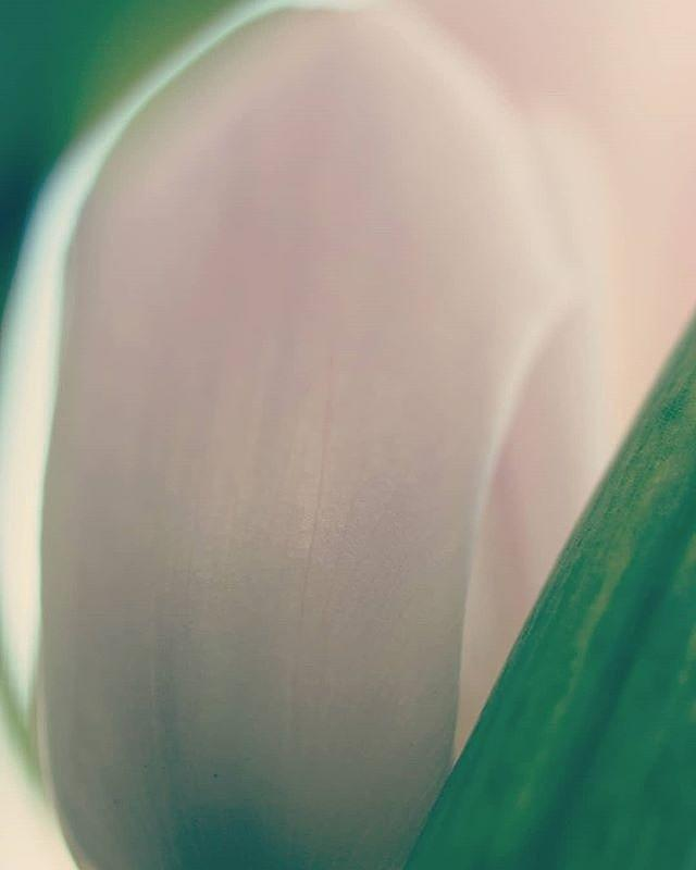 Smooth Tulip by The Art Of Marilyn Ridoutt-Greene