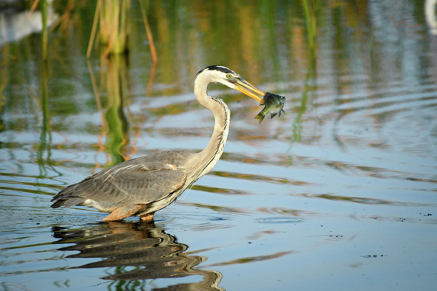 Snack Time for Blue Heron by Donald Brown