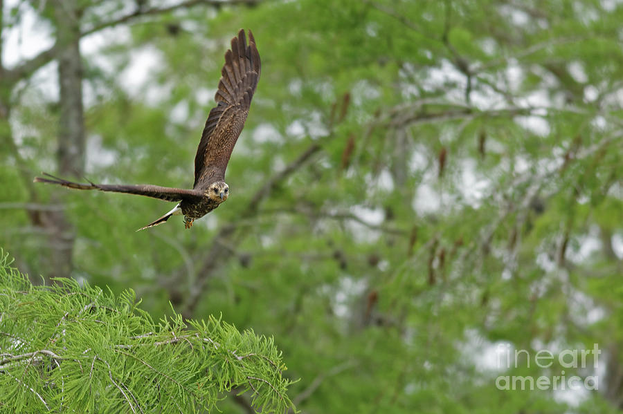 Kite Photograph - Snail Kite Takeoff by Natural Focal Point Photography