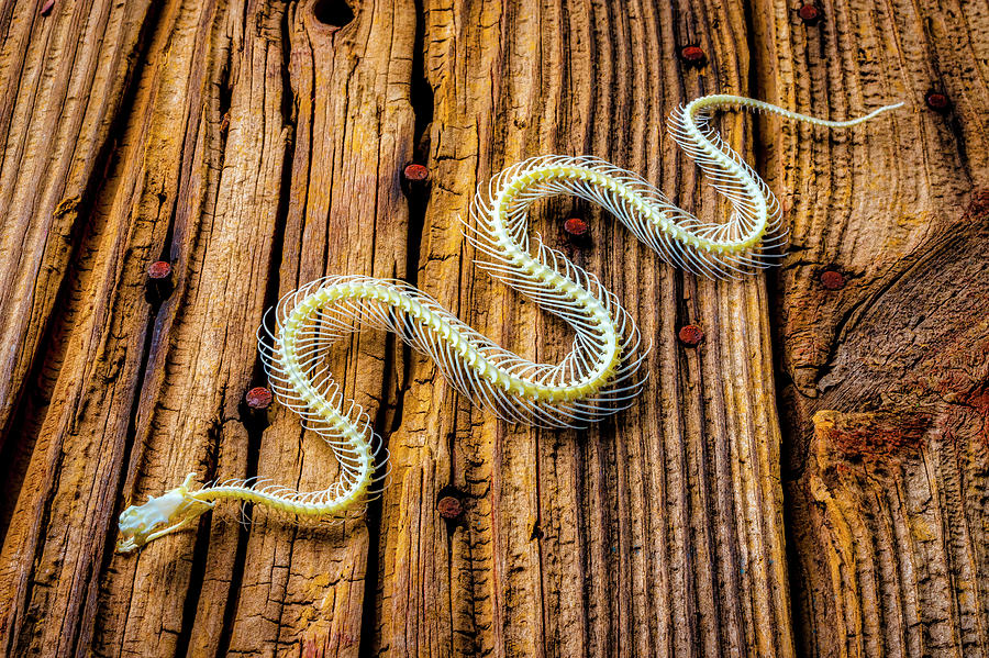 Snake Photograph - Snake Skeleton On Wooden Boards by Garry Gay