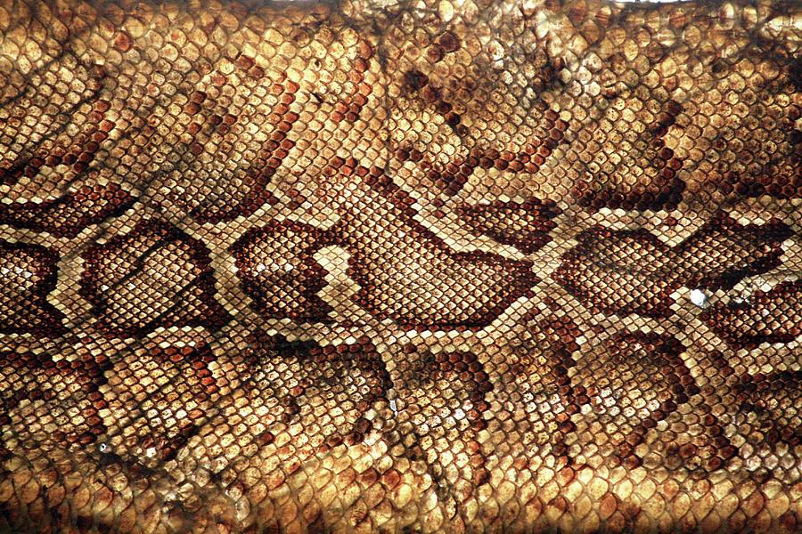 Snake Skin Photograph by Abner Merchan