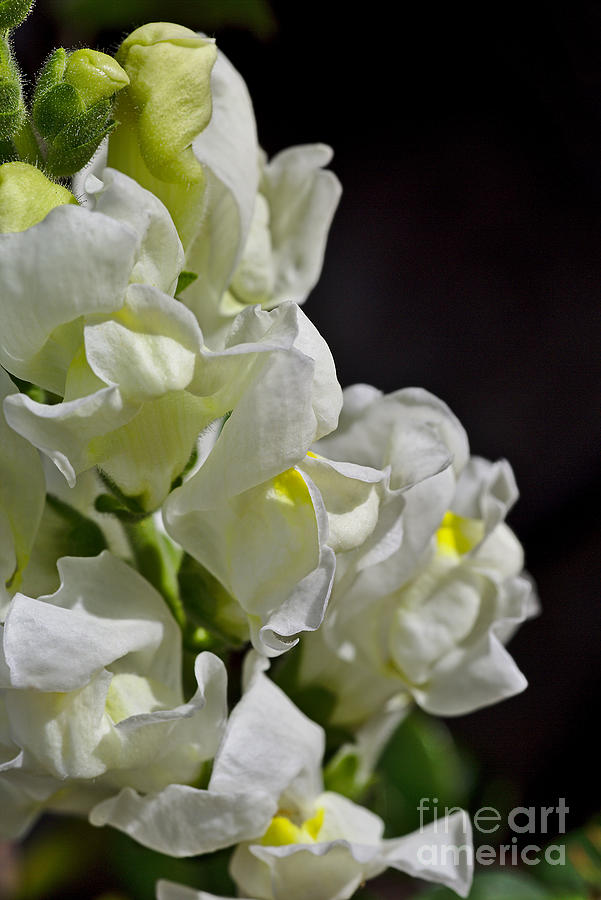 Snapdragon Flower Summer White by Joy Watson