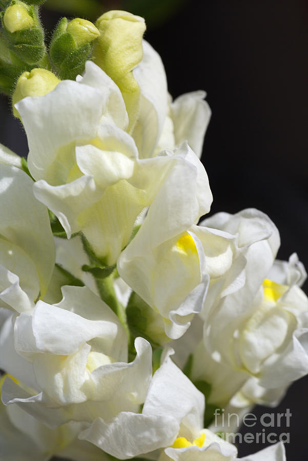 Snapdragon Flowers Of White by Joy Watson