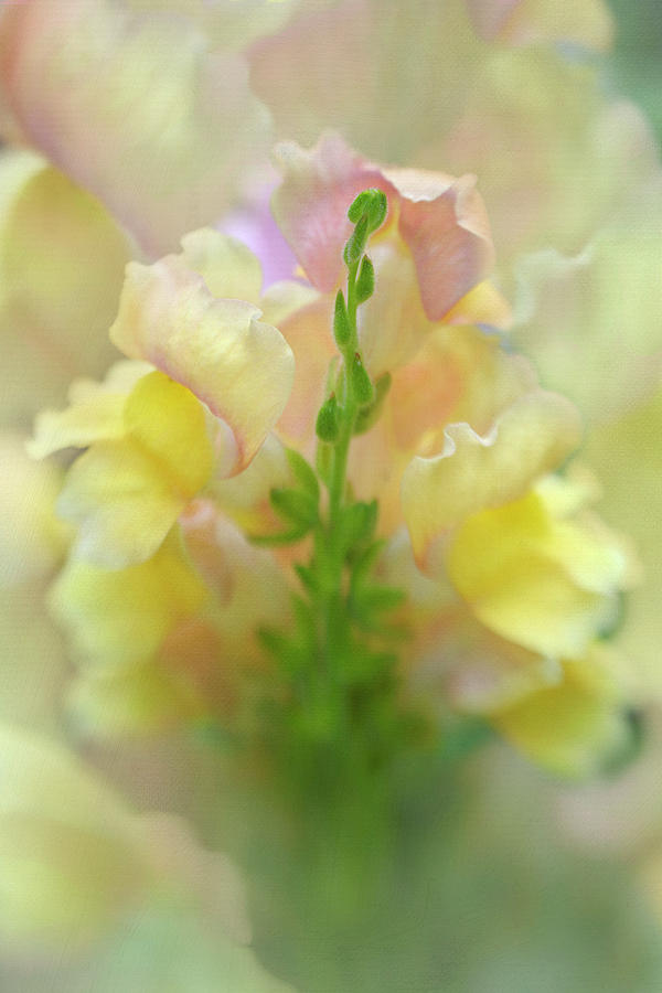 Snapdragon Sunrise by K Powers Photography