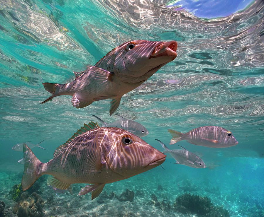 Mp Photograph - Snapper On Ningaloo Reef, Australia by Tim Fitzharris