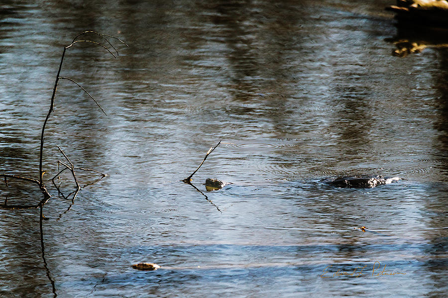 Snapping Turtle Swimming by Edward Peterson