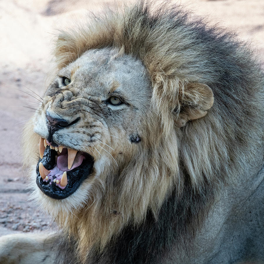 Snarling Male Lion by Mark Hunter