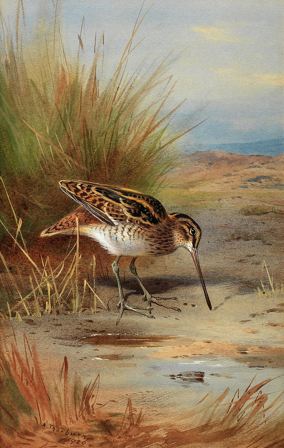 Thorburn Painting - Snipe At The Waters Edge by Archibald Thorburn