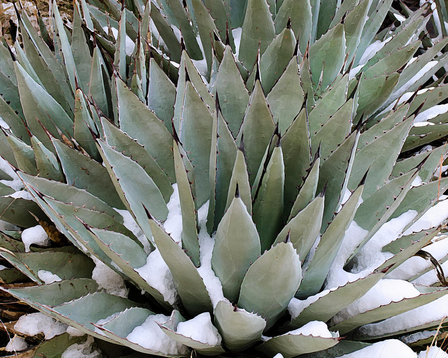 Snow Agave by Karen Conley