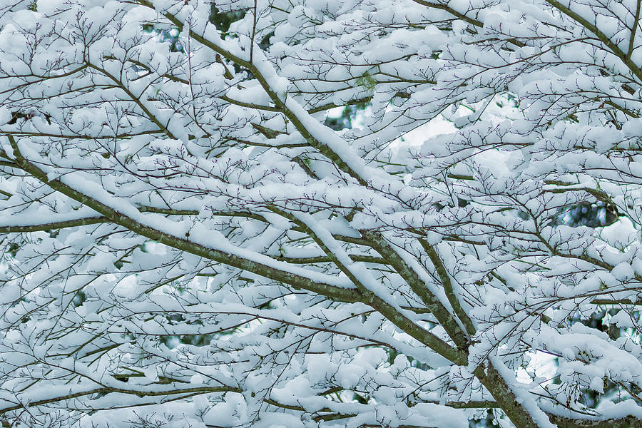 Snow and Branches, No. 1 - Nature Abstract by Belinda Greb