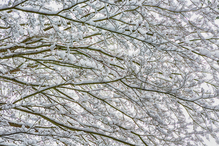 Snow and Branches, No. 2 - Nature Abstract by Belinda Greb