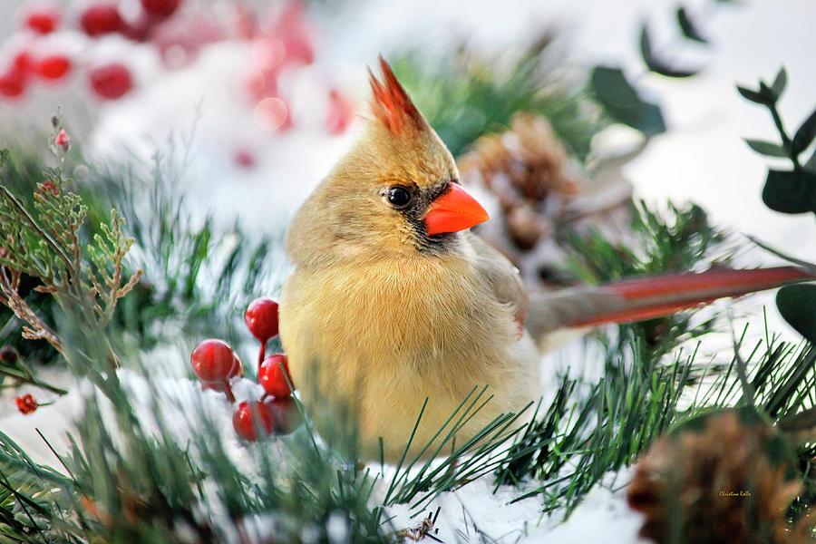 Cardinal Photograph - Snow Cardinal by Christina Rollo
