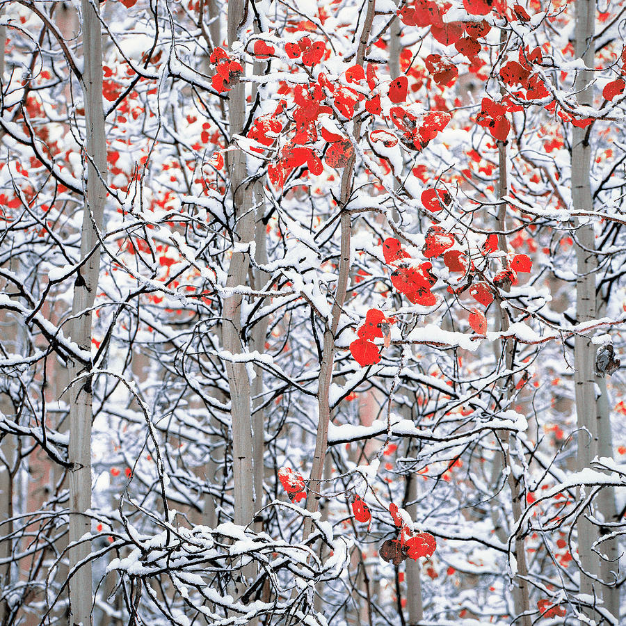 Horizontal Photograph - Snow Covered Aspen Trees by Panoramic Images
