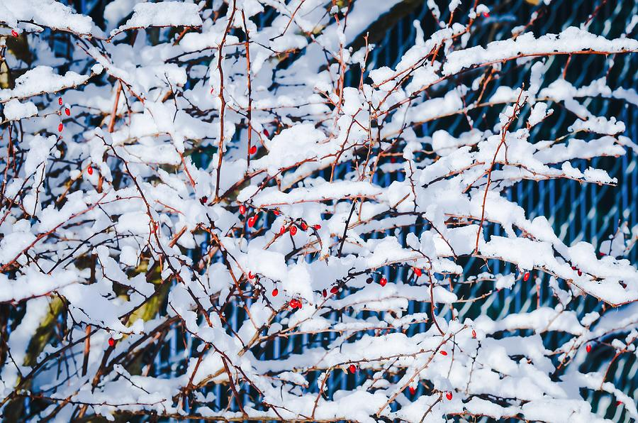 Snow Covered Branches with Berries by Maureen E Ritter