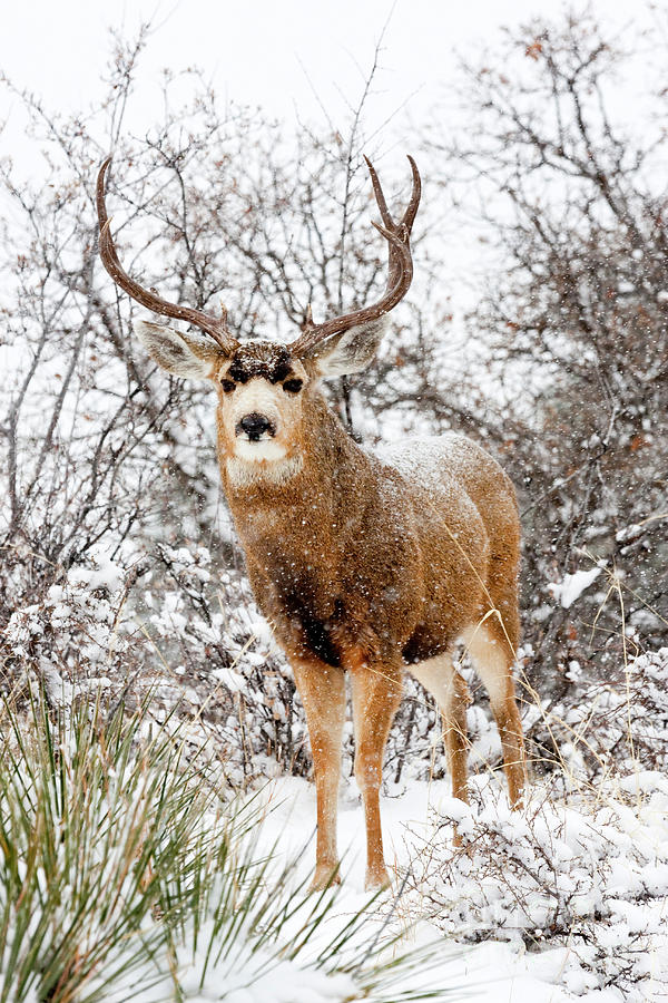 Snow Covered Buck Photograph