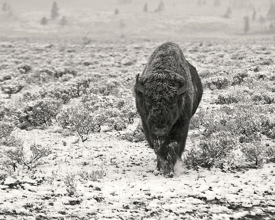 Snow Covered Yellowstone Bison Photograph by Photo By Dcdavis
