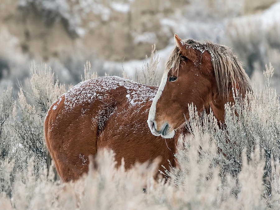 Snow Dusted Mustang Stallion by Dawn Key