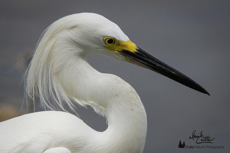 Snow Egret Portrait by David Cutts