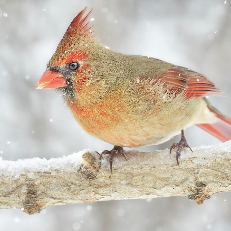 Snow falls around a Cardinal by Jim Hughes