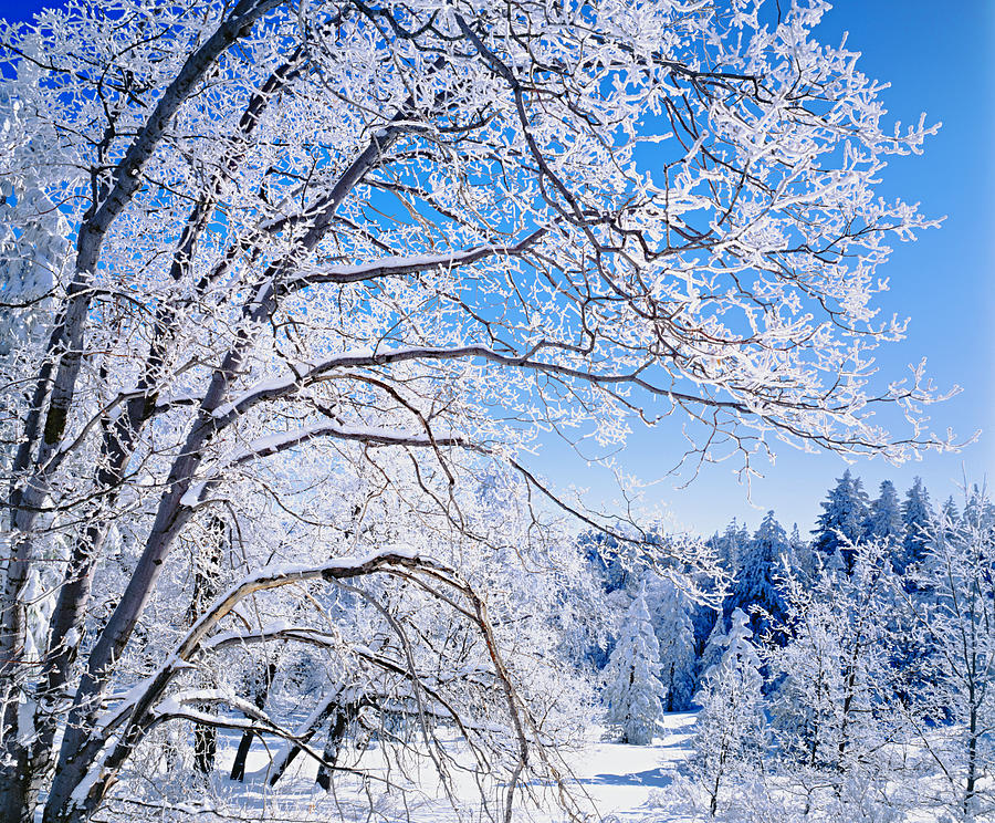 Snow Filled Branches And San Bernardino Photograph by Ron thomas