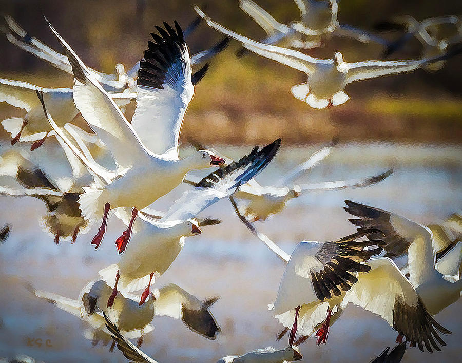 Snow Geese in Flight by Karen Conley
