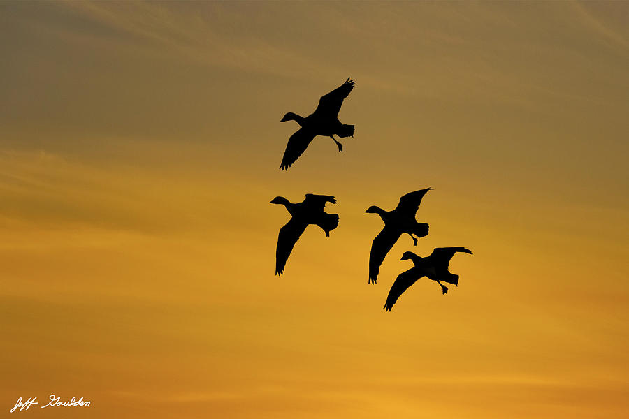 Animal Photograph - Snow Geese Landing At Sunset by Jeff Goulden