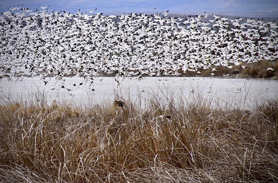 Snow Geese Migration by Ed  Riche