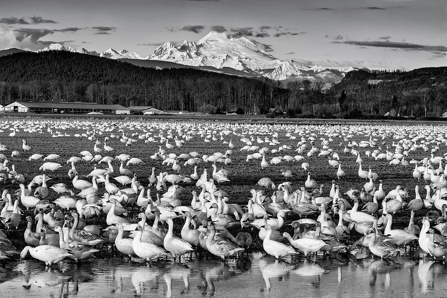 Snow Geese Reflection Black and White by Mark Kiver