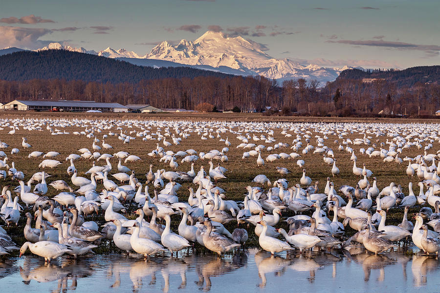 Snow Geese Reflection by Mark Kiver
