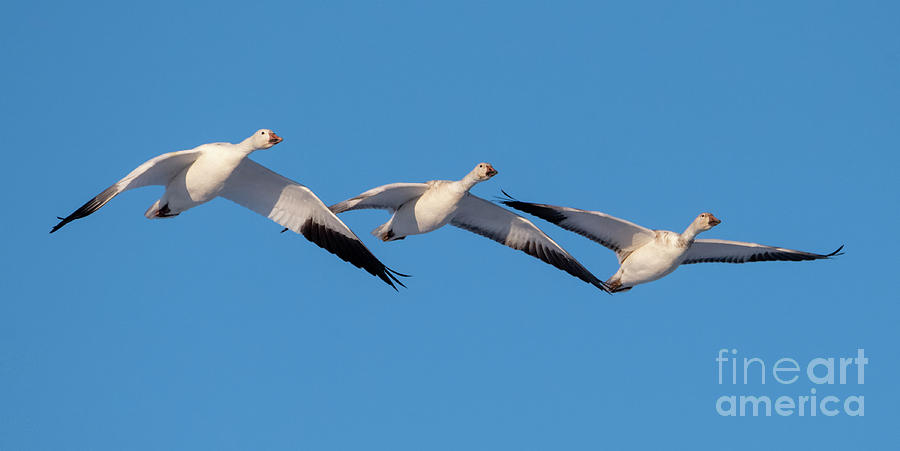 Snow Goose Trio by Mike Dawson