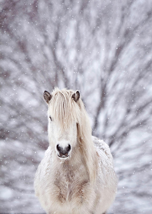 Snow Horse Photograph by Gigja Einarsdottir