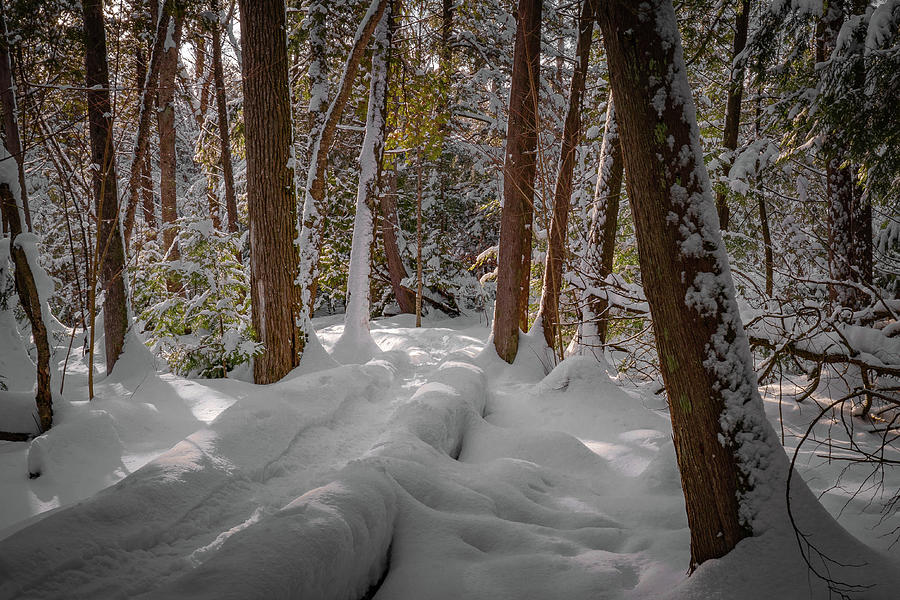 snow laden woods by David Heilman