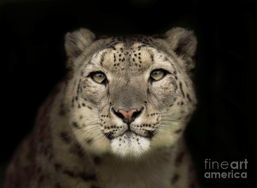 Snow Leopard Photograph by Colin Langford / 500px