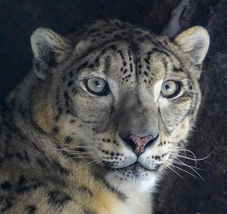 Snow Leopard by Susan Rydberg