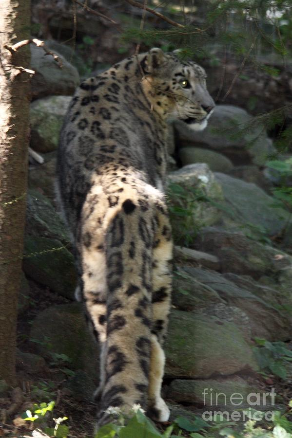 SNOW LEOPARD WATCHING HIS BACK by JOHN TELFER